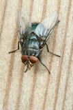 Um macro de uma mosca Imagens de Stock Royalty Free