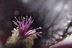 Um macro que contém detalhes de uma malva rosa preta Fotografia de Stock