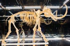 Um mammoth lanoso selado em um caso de vidro Fotografia de Stock Royalty Free