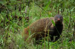 Um mangusto descascado bonito do pescoço Fotos de Stock