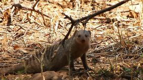 Um mangusto unido inquisidor na reserva do jogo de Madikwe video estoque