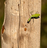 Um mantis Praying e uma mosca Fotos de Stock Royalty Free