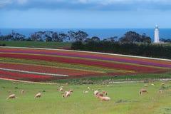 Campos da tulipa no cabo da tabela Foto de Stock