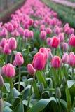 Campos da tulipa no cabo da tabela Imagem de Stock