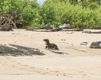 Um mar novo Lion Pup no Sandy Beach galápagos Imagem de Stock