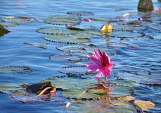 Um mar vasto da tampa do lírio de água vermelha a superfície de cristal do lago Nongharn Fotos de Stock