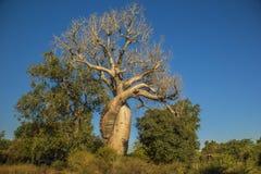Um marco natural em Madagáscar: Les Babobabs Amoureux imagem de stock