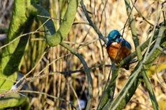 Um martinho pescatore em seu ramo Imagens de Stock Royalty Free