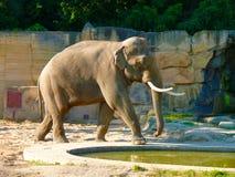 Um maximus do Elephas do elefante indiano, espécie em vias de extinção fotografia de stock