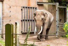 Um maximus masculino tusked do Elephas do elefante asiático, igualmente chamado elefante de Asiático O elefante asiático foi alis imagem de stock