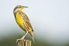 Um Meadowlark oriental empoleirado foto de stock royalty free