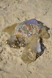 Um medusa Fotos de Stock