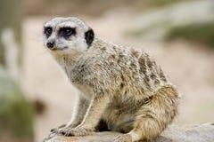 Um Meerkat Fotografia de Stock