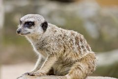 Um Meerkat Fotos de Stock Royalty Free