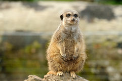 Um Meerkat gordo Fotos de Stock Royalty Free