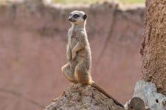 Um Meerkat isolado que senta-se em um monte da térmita Imagens de Stock