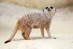 Um meerkat na terra que olha ao redor Imagem de Stock Royalty Free