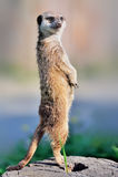 Um meerkat que está ereto Imagem de Stock