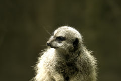 Um meerkat que olha ao redor Imagens de Stock