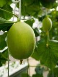 Um melão orgânico Fotos de Stock Royalty Free