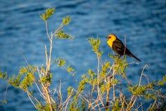 Um melro dirigido amarelo em Yuma, o Arizona fotos de stock royalty free