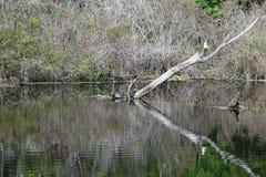 Um membro de árvore inoperante refletido na água Fotografia de Stock Royalty Free
