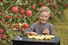 Um menino bonito, sorrindo está escolhendo maçãs em um pomar de maçã e está guardando uma maçã foto de stock royalty free