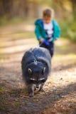 Um menino dos anos de idade com guaxinim Fotografia de Stock