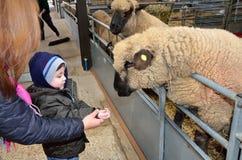 Um menino novo alimenta carneiros em um jardim zoológico de trocas de carícias Foto de Stock