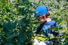 Um menino novo no jardim que escolhe favas Jardinagem das crianças Conceito saudável da educação da vida e da natureza foto de stock royalty free