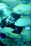 Um mergulhador que alimenta peixes tropicais em um caixão fotografia de stock