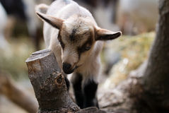 Um miúdo da cabra do bebê Fotografia de Stock