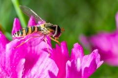 Um minúsculo hoverfly em uma flor roxa Foto de Stock