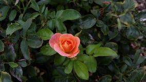 Um mini arbusto cor-de-rosa multicolorido imagens de stock