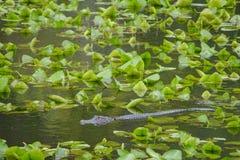 Um mississippiensis no Largo, Florida do jacaré do jacaré americano imagem de stock