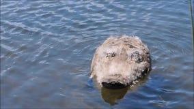 Um momento de relaxamento do cisne novo da cisne preta do bebê e chapinhar esse foco em habitat da lagoa de água pouco profunda filme