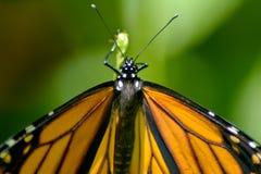 Um monarca bonito como apenas emergiu imagem de stock royalty free