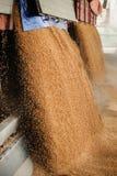 Um montão apenas do milho colhido dentro de um recipiente F derramado grão imagem de stock royalty free