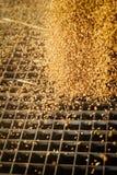 Um montão apenas do milho colhido dentro de um recipiente F derramado grão Imagens de Stock Royalty Free