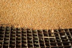Um montão apenas do milho colhido dentro de um recipiente F derramado grão Fotografia de Stock