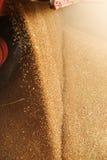 Um montão apenas do milho colhido dentro de um recipiente F derramado grão Fotos de Stock Royalty Free