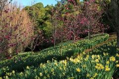 Um montanhês coberto nos narcisos amarelos e nas árvores da magnólia foto de stock