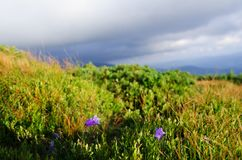 Um monte coberto com as plantas com as flores no Mounta Carpathian Fotos de Stock