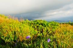 Um monte coberto com as plantas com as flores no Mounta Carpathian Foto de Stock