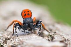 Um moravicus masculino de Eresus da aranha da joaninha em República Checa imagens de stock