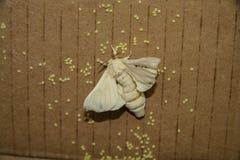Um mori do Bombyx do bicho-da-seda da borboleta Imagem de Stock Royalty Free