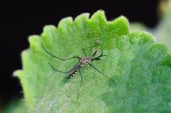 Um mosquito imagem de stock royalty free
