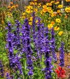 Um motim do salvia azul e coreopsis e cosmos amarelos Fotos de Stock Royalty Free