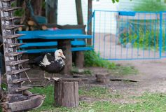 Um motriz do país que descreve um pato que resing perto de um trator fotografia de stock