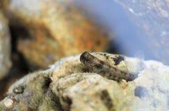 Um mudskipper comum fotos de stock royalty free